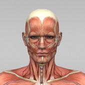 Mužské anatomii a svaly