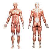 Männlichen Anatomie und Muskeln