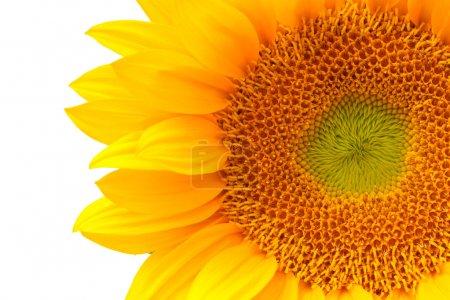 Photo pour Gros plan de fleurs de soleil - image libre de droit