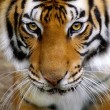 Close-up of a Tigers face....