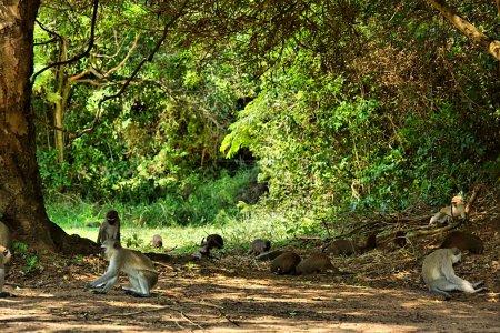 Photo pour Des singes et des singes en velours dans le parc du camp. Tourné au camping Sodwana Bay, province du KwaZulu-Natal, région du sud du Mozambique, Afrique du Sud - image libre de droit
