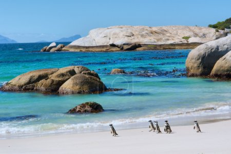Photo for Penguins walk on sunny beach. Shot in the Boulders Beach Nature Reserve, near Cape Town, Western Cape, South Africa - Royalty Free Image