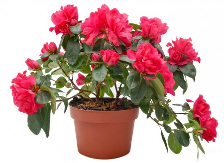 Photo for Flower pot - Royalty Free Image