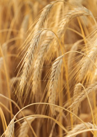 Photo for Some wheat ears in a vertical composition - Royalty Free Image