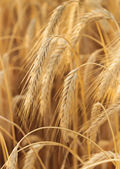 Some wheat ears vertical composition