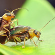 Most beetles have two pairs of wings, the front pa...