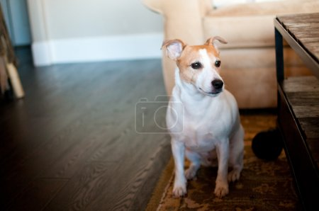 white jack russell terrier dog