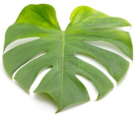 Photo for Green leaf  on  white background. Close-up - Royalty Free Image