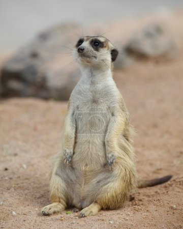 lovely meerkat standing and looking