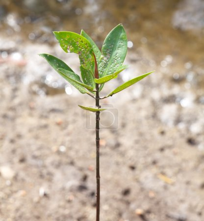 Photo for Young mangrove tree growing on the tropical seashore - Royalty Free Image