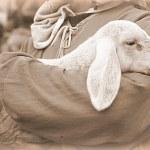 Lamb with shepherd...