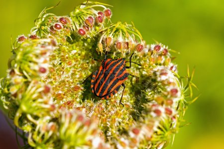 Shield smuggling (Graphosoma lineatum) on the plant