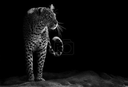 Photo pour Image noir et blanc d'un léopard regardant fixement - image libre de droit