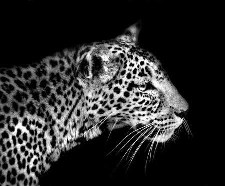 Photo pour Artistique gros plan d'un léopard d'Afrique en noir et blanc - image libre de droit