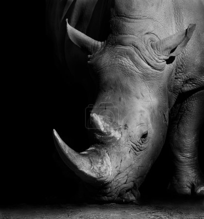 Wild African White Rhino in Monochrome...