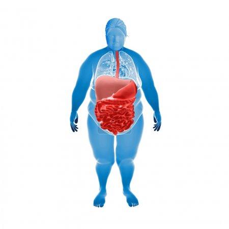 Photo pour Render Illustration d'organes de femme obèses - image libre de droit