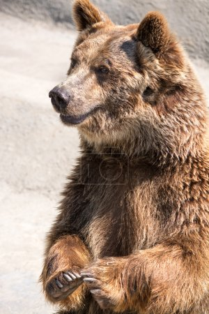 The brown bear (Ursus arctos) is among the largest and most powe