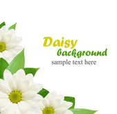 Daisy květiny pozadí