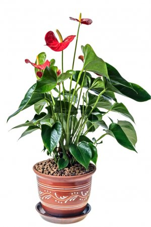 Photo for Red anthurium in a pot, isolated on white background - Royalty Free Image
