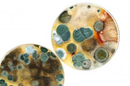 petri dish with mold