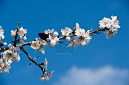 close up of almond tree flowers on blue sky
