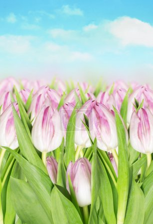 Blooming pink tulips against background of spring sky
