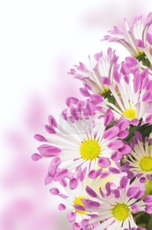 Pink daisies flowers, isolated