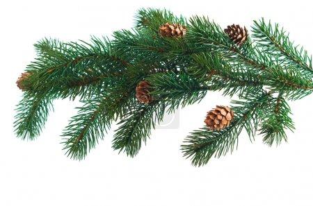 Photo pour Cônes de pin avec branches de pin. Cône et arbre de Noël isolé - image libre de droit