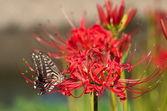 červený rycoris