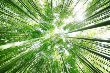 Photo for Bamboo Grove - Royalty Free Image