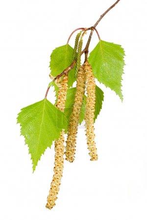 Spring birch buds