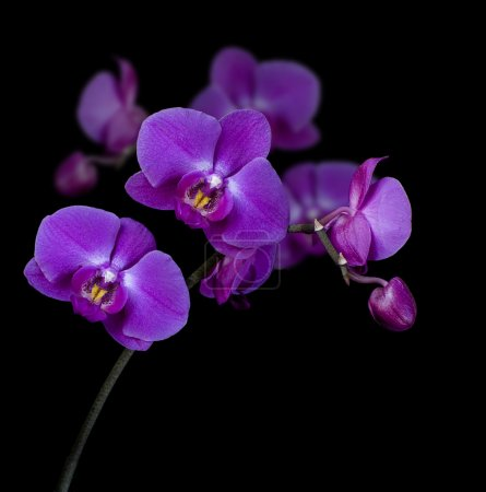 Photo for Twig blossoming orchids on a black background - Royalty Free Image
