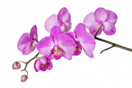 Foto de Rama floreciente de orquídeas moradas sobre un fondo blanco - Imagen libre de derechos