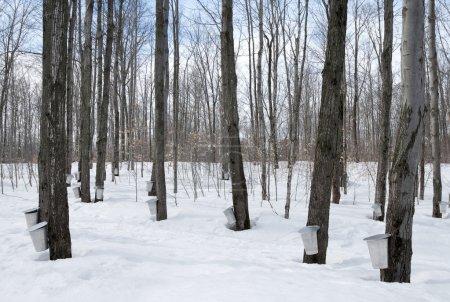 Maple syrup season in Canada