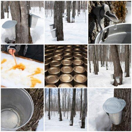 Photo pour Production de sirop d'érable au Québec, canada. forêt de printemps et seaux pour recueillir la sève d'érable. - image libre de droit