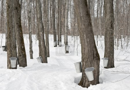 Traditional maple syrup production