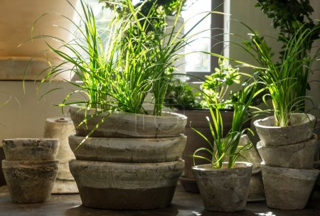 Photo for Green plants in old clay pots, near the window. - Royalty Free Image
