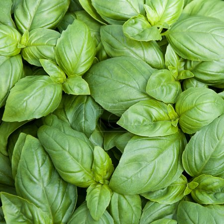 Photo for Fresh green Sweet Basil (Basilicum Ocimum) herb background, top view. - Royalty Free Image