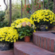 Chrysantemums plants and flowers in pots on a door...