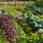 Photograph of vegetable garden...