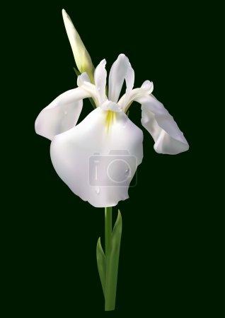 Illustration for White iris flower vector - Royalty Free Image