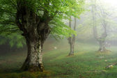 Beech forest in spring with fog