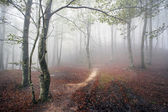 Beech forest with fog and a pathway