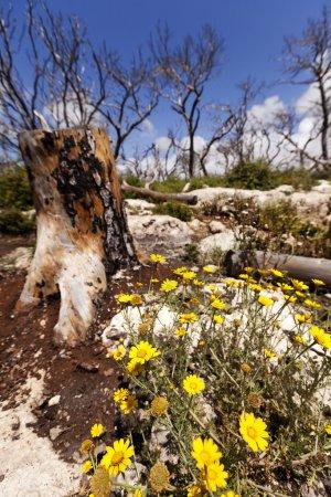 Photo pour Vue grand angle de marguerites de couronne sur le fond d'un tronc d'arbre amputés et les arbres dénudés nues sur un beauiful printemps nuageux. cette forêt a souffert d'un incendie de forêt énorme un année précédente à la fois que cette image a été prise. - image libre de droit