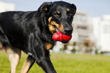 Beauceron Australian Shepherd Dog with Toy at the Park