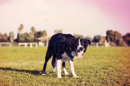 Border Collie Dog on Park Lawn