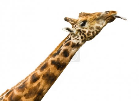 Giraffe with his tongue hanging out on a white background