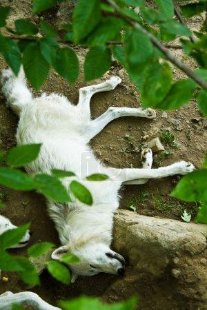 Photo pour Loup dormant - image libre de droit