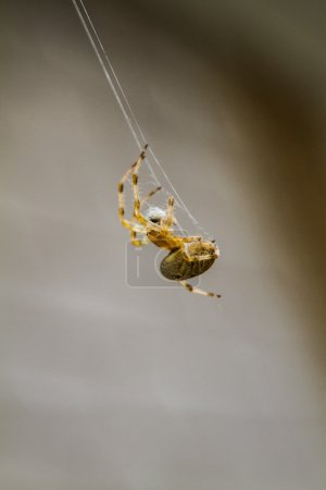 Macro of a Spider doing a Spiderweb