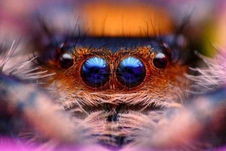 Jumping spider Phidippus regius head close up